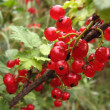 Stock Photo: Fascicule of red currants