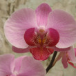 Pink Phalaenopsis orchid — Stock Photo