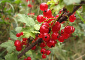 Fascicule of red currants — Stock Photo