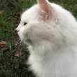 White fluffy cat, profile — Stock Photo #1281411