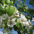 Tree blooms white flowers — Stock Photo #1296678