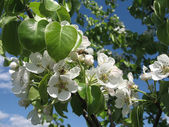 Tree blooms white flowers — Stock Photo