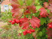 Viburnum — Photo