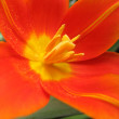 Orange tulip — Stock Photo