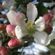 White-pink flower apple — Stock Photo #1313405