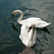 Two white swans on pond — Stock Photo #1327495