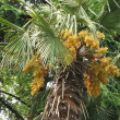 Palm in bloom with yellow flowers — Stock Photo #1378711
