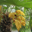 Palm in bloom with yellow flowers — Stock Photo #1378816