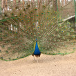 Peacock with flowing tail — Stock Photo