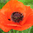 Scarlet Poppy — Stock Photo #1378888