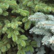 Stock Photo: Branches of blue and green fir trees