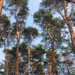 Tall pine trees against the sky — Stock Photo