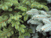 Rami degli alberi blu e verde abete — Foto Stock