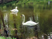 Two white swans swims in the water — Stock Photo