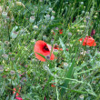 Field poppies - Stock Photo