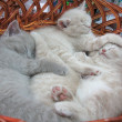 Gray kitten sleeping in basket — Stock Photo #1445399