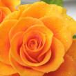 Orange rose in drops of dew — Stock Photo #1445422