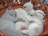 Gray kitten sleeping in basket — Stock Photo