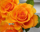 Orange rose in drops of dew — Stock Photo