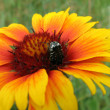 Stock Photo: Large beetle on bright flower