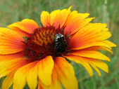 Large beetle on the bright flower — Stock Photo