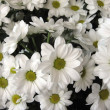 White chrysanthemums, background — Stock Photo #1639184