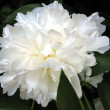 Large white peony — Stock Photo #1639210