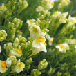 Background of small yellow flowers — Stock Photo #1639309