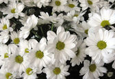 White chrysanthemums, background — Stock Photo