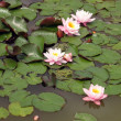 Stock Photo: Frogs and lotuses