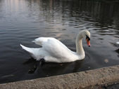 White swan swims in the water — Stock Photo