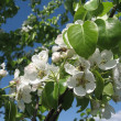 Tree blooms white flowers — Stock Photo #2534509