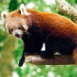 Royalty-Free Stock Photo: Red panda