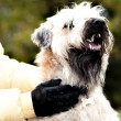Funny irish soft coated wheaten terrier - Stock Photo