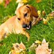 Stock Photo: Funny dachshund puppy lay on green grass