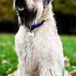 Stock Photo: Funny irish soft coated wheaten terrier