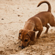 Funny dachshund puppy is digging hole on - Stock Photo