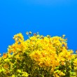 Yellow leaves — Stock Photo #1287134