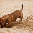 Dachshund puppy is digging hole on beach — Stock Photo #1287863