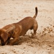 Dachshund puppy is digging hole on beach - Stock Photo