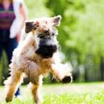 Running dog catch ball — Stock Photo