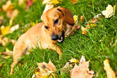 Funny dachshund puppy lay on green grass — Stock Photo