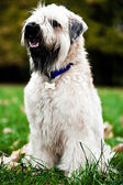 Funny irish soft coated wheaten terrier — Stock Photo