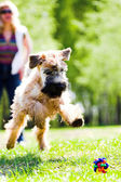 Running dog catch ball — Stock Photo
