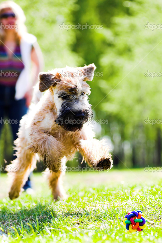 Running dog on grass catch ball (Irish soft coated wheaten terrier) — Stock Photo #1289816
