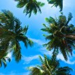 Coconut palm heads on blue sky - Stock Photo