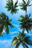 Coconut palm heads on blue sky — Stockfoto
