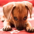 Dachshund puppy — Stock Photo #1327829