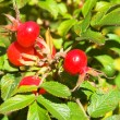 Wild dog rose — Stock Photo #1328140