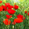 Red poppies and yellow flowers — Stok fotoğraf